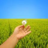 dandelion ręka Zdjęcie Royalty Free