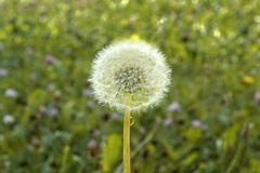 Dandelion r na zielonym polu Fotografia Stock