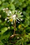 Dandelion in the Rain Stock Image