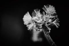 Dandelion with rain drops close up macro, dramatic view stock photos