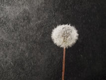Dandelion in the rain Stock Image
