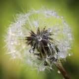 Dandelion After the Rain Royalty Free Stock Image