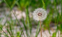 Dandelion ranku światło słoneczne przez świeżego zielonego tło Zdjęcie Stock