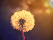 Dandelion in the rays of sun 2. Spring dandelion in the last rays of the sunset Stock Photography