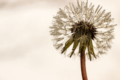 Dandelion reaching for the sky. Dandelion seed head wit seeds covered in water droplets, with white and gray copyspace for text Stock Photography