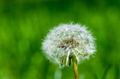 Dandelion ready to seed. Macro image of a dandelion full of seed with bright green soft focused background Stock Photos