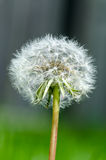 Dandelion ready to seed Royalty Free Stock Image