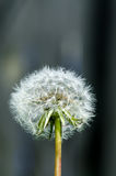 Dandelion ready to seed. Macro image of a dandelion full of seed with soft focused background Stock Photo