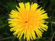 Dandelion ?redirects tutaj Ja mo?e odnosi? sie jakikolwiek genus Taraxacum Taraxacum officinale lub specyficznie zdjęcia royalty free
