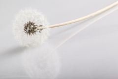Dandelion reflection Royalty Free Stock Photos