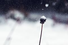 Dandelion remnant in snowy Wnter Royalty Free Stock Images