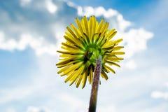 Dandelion on the reverse side against the blue sky. Yellow dandelion on the back against the blue sky.flower on a green stalk.  Dandelion lat. The — genus stock photos