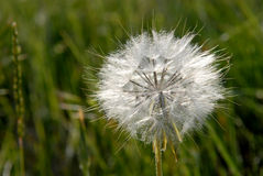 Dandelion - ripe fruits Stock Photography