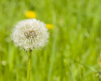 Dandelion with ripe seeds on bokeh background, macro, selective focus, shallow DOF Stock Photography