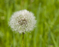 Dandelion with ripe seeds on bokeh background, macro, selective focus, shallow DOF Royalty Free Stock Photo