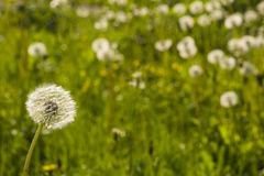 Dandelion with ripe seeds on bokeh background, macro, selective focus, shallow DOF Royalty Free Stock Photos
