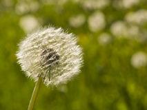 Dandelion with ripe seeds on bokeh background, macro, selective focus, shallow DOF Stock Image