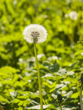 Dandelion with ripe seeds on bokeh background, macro, selective focus, shallow DOF Royalty Free Stock Image