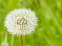 Dandelion with ripe seeds on bokeh background, macro, selective focus, shallow DOF Royalty Free Stock Photography