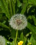 Dandelion with ripe seeds on bokeh background, macro, selective focus, shallow DOF.  Stock Photos