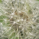 Dandelion with ripe seeds texture, macro, selective focus, shallow DOF Stock Photography