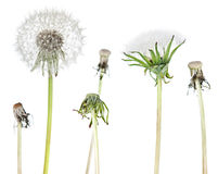 dandelion roślina Zdjęcia Royalty Free