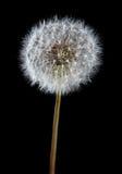 dandelion roślina Obrazy Stock