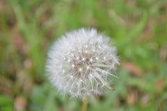 Dandelion - robi życzeniu Zdjęcia Stock
