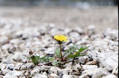 Dandelion between a rock and a hard place stock images