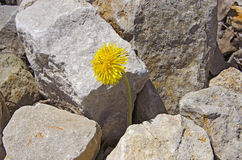 Dandelion in rocks Stock Photography