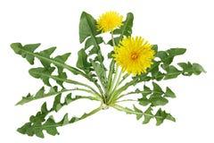 dandelion roślina Fotografia Stock