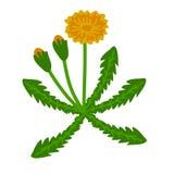 Dandelion rośliny ilustracja Zdjęcia Stock