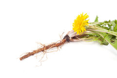 Dandelion root is isolated. Green medicinal plant on white background isolated royalty free stock photo