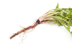 Dandelion root is isolated. Green medicinal plant on white background isolated stock photography