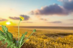 Dandelion. Root weed isolated flower plant leaf royalty free stock images