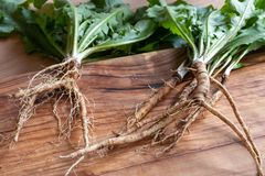 Dandelion root and whole plant on a table. Dandelion root and whole plant royalty free stock photography