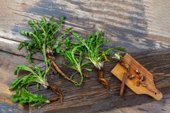 Dandelion root and whole plant on a wooden table. with root cut on cutting board with knife. Dandelion root and whole plant on a table. with root cut on cutting royalty free stock image