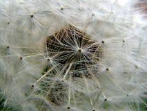 Dandelion rosette flower head seeds Royalty Free Stock Photography