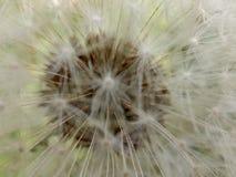 Dandelion Rozmieszcza obrazy stock