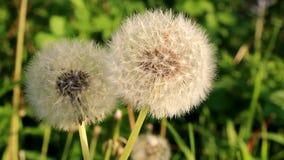 Dandelion rusza się wolno w wiatrze zdjęcie wideo