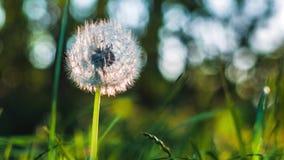 Dandelion słuchał ruch wiatrowym popiółem, ziarno spada puszkiem, słońca światła racami i round bokeh bawić się w tle, zbiory