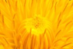 Dandelion's blossom. A closeup photo of dandelion's blossom Stock Photography