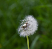 Dandelion`s blow ball Stock Images