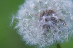 Dandelion's blowball Stock Photography