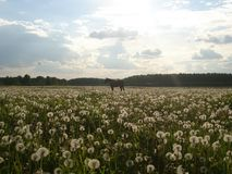 Dandelion& x27;s field. In summer Royalty Free Stock Photography