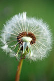 Dandelion's seeds Royalty Free Stock Photos