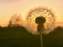 Dandelion& x27; s-solnedgång royaltyfri bild