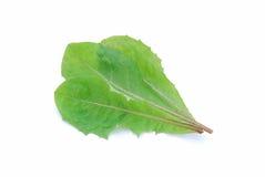 Dandelion salad leaves Royalty Free Stock Photo