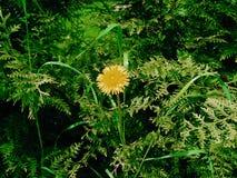 dandelion samotny Zdjęcie Royalty Free