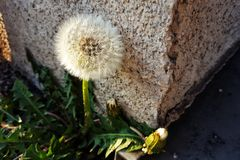 Dandelion sead-head Royalty Free Stock Photography